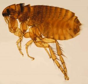 pulga2