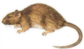 roedores1