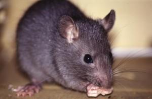 roedores2