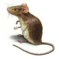 roedores3